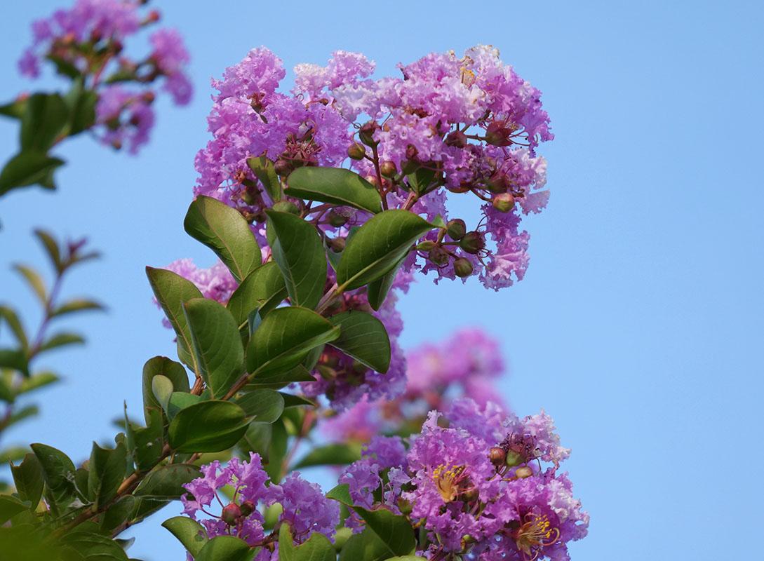 さるすべりの花拡大