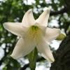 庭にアマリリス?が咲いている