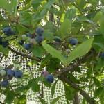 ブルーベリーの収穫 7月2日今日この頃