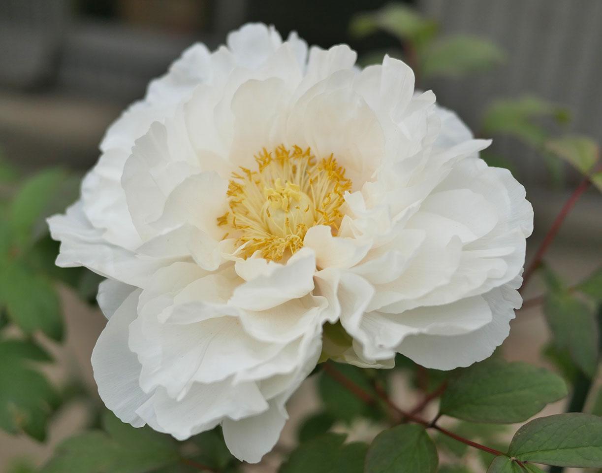 八重咲きピ白色の牡丹