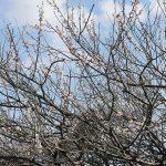 梅の花が散り始め サクランボの花が咲き始めました