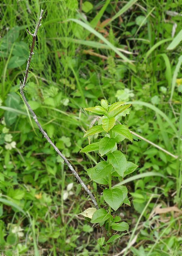 新枝が伸びたブルーベリー2