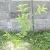 桃の苗木が順調に育っています