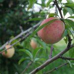 庭の桃がもうじき食べられそう 7月12日今日この頃