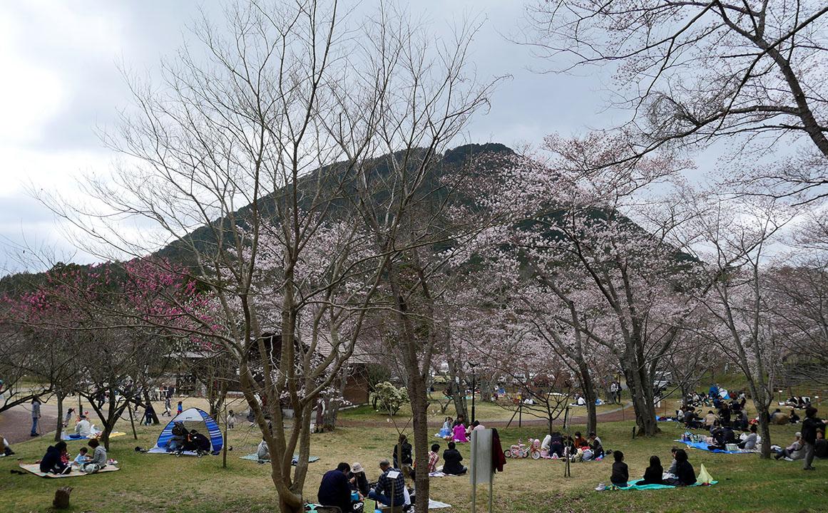 桜越しに望む三上山