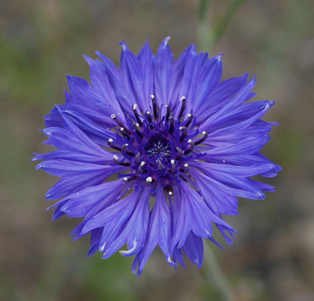 矢車草青紫