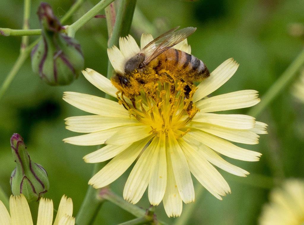 秋の野芥子と蜂