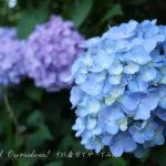 紫陽花(アジサイ)2018 6月25日今日この頃
