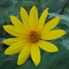 菊芋の花 10月12日今日この頃