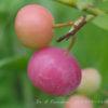 ピンク色のブルーベリー 7月16日今日この頃
