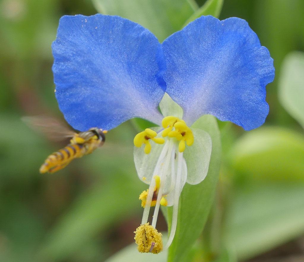 露草に蜂飛来