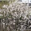さくらんぼの花 3月18日今日この頃