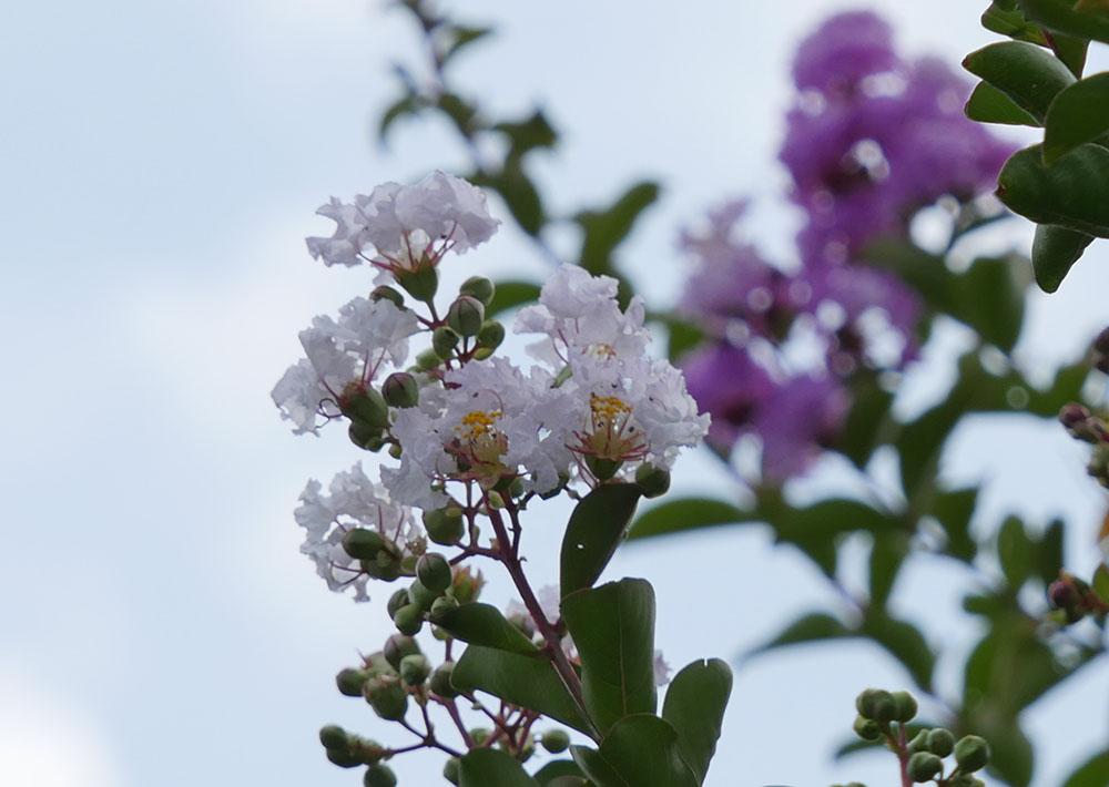 さるすべりの白い花