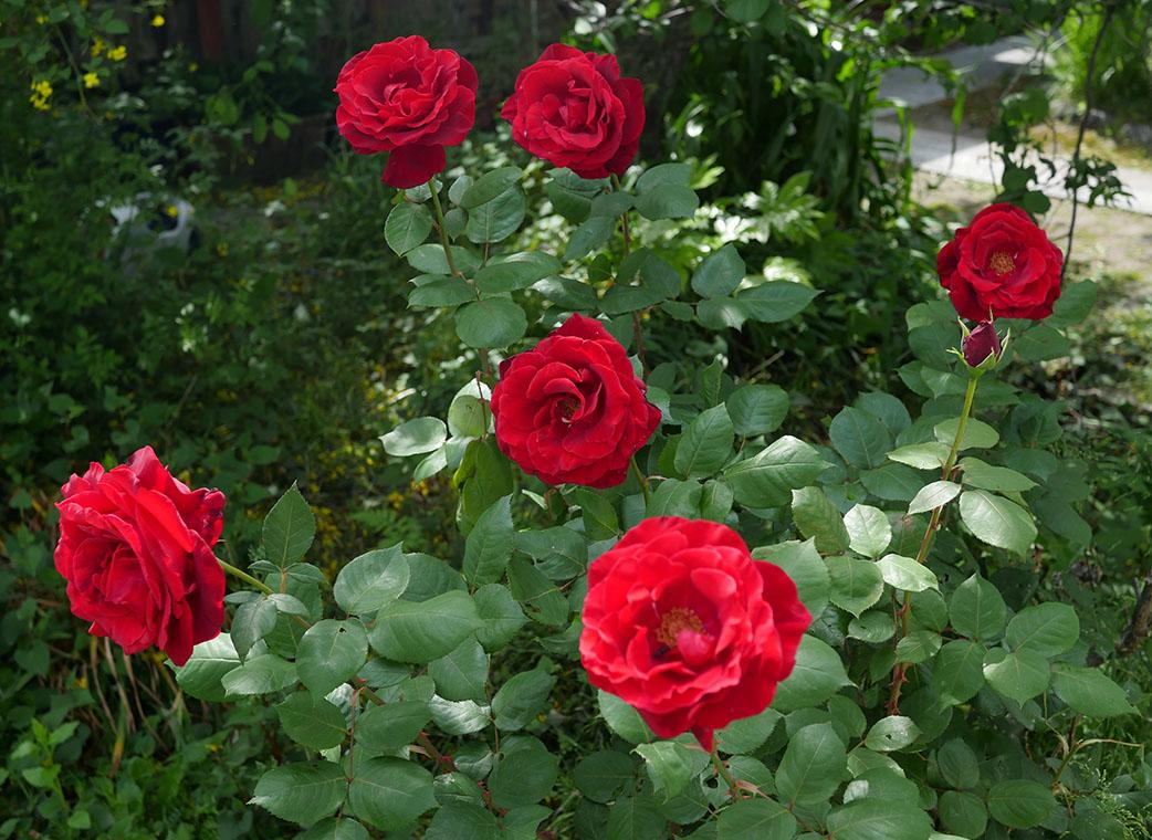 たくさん咲いた赤い薔薇