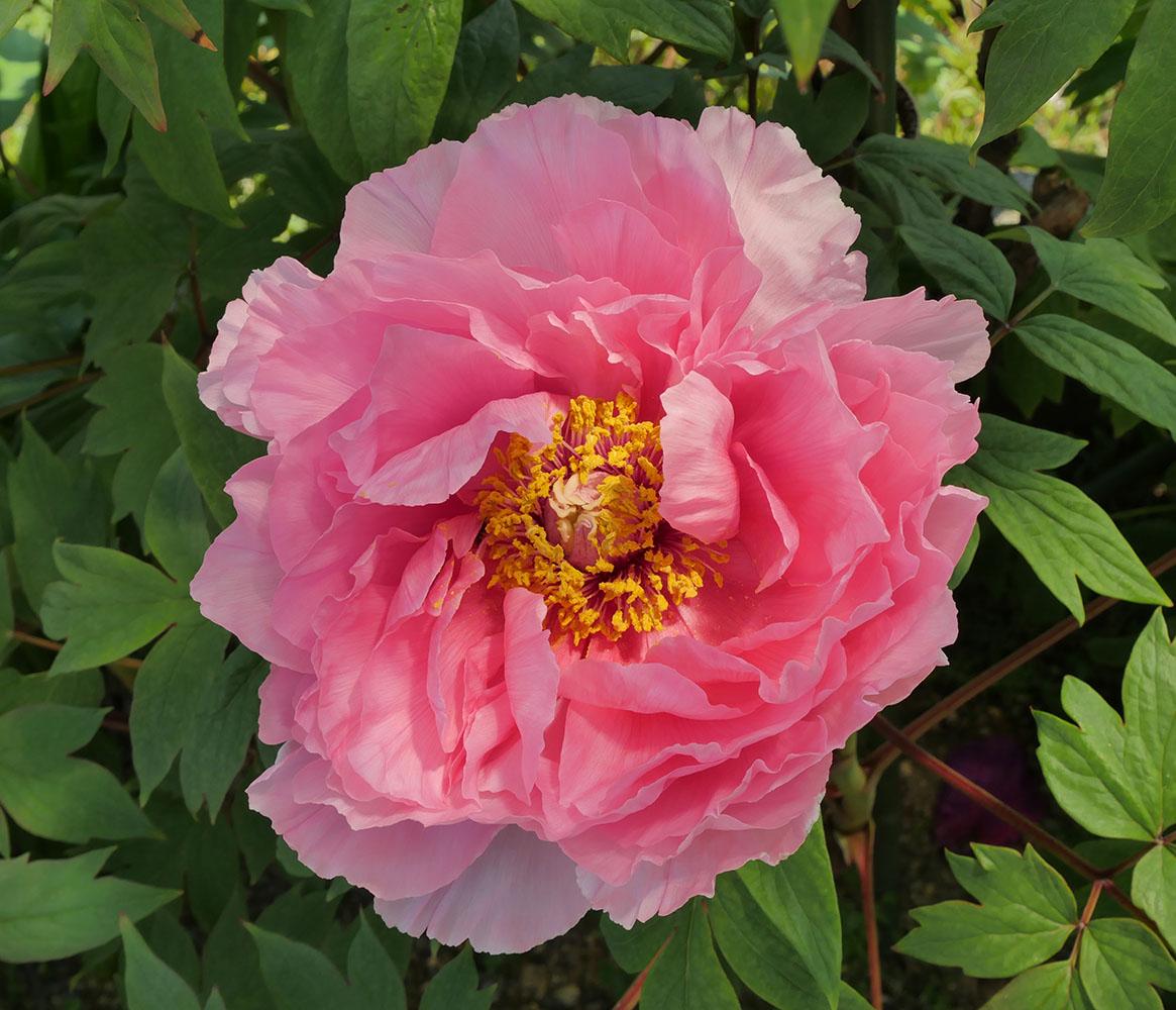 八重咲きピンクの牡丹