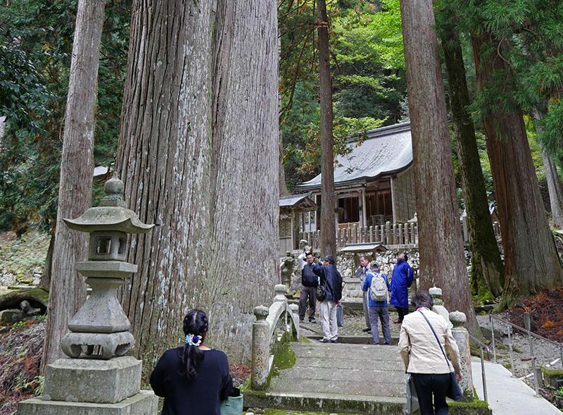 境内杉の大木
