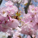庭の桜が満開です 4月12日今日この頃
