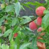 自家産の桃を楽しむ 7月7日今日この頃