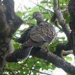 梅の木に鳩が 6月26日今日この頃