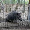 罠にかかった猪