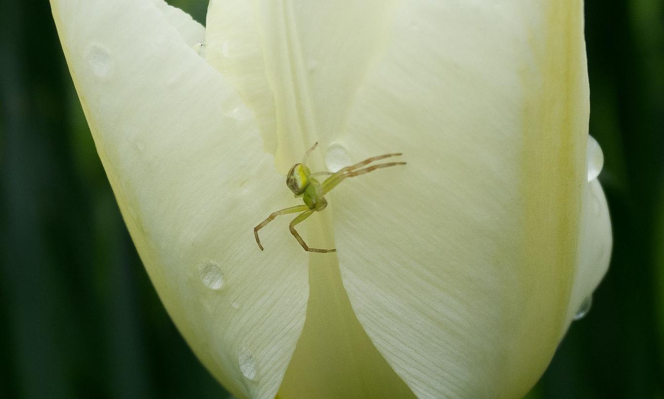 白いチューリップと花蜘蛛2