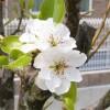 3本の白い花の木 4月17日今日この頃
