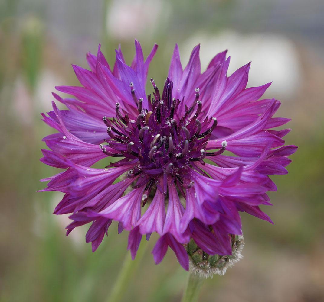 矢車草赤紫