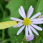 秋の花に蝶と瓜葉虫(うりはむし) 10月11日 今日この頃