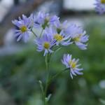 紫苑(シオン)の花 9月24日今日この頃