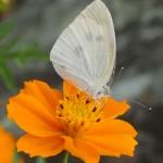 黄花コスモスに蝶 10月29日今日この頃