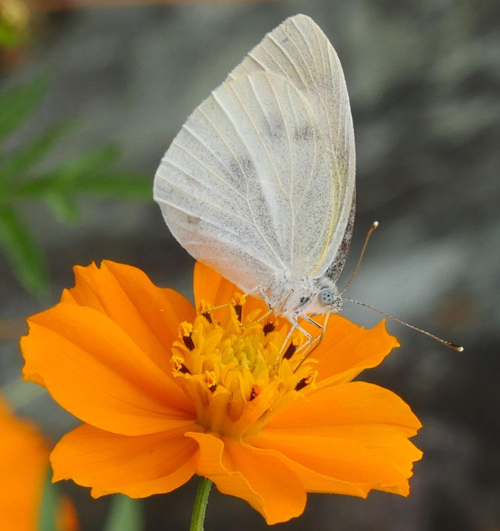 黄花コスモスと蝶