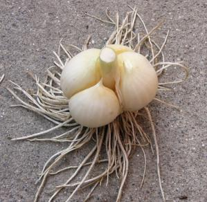 ジャンボにんにく収穫分球