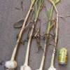 ジャンボニンニクの収穫