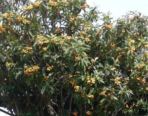 たわわに実った枇杷の木