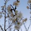春告草-梅の花 3月18日今日この頃