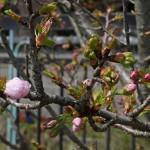 開花目前の桜 3月31日今日この頃