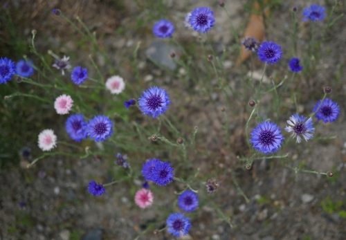 矢車草花壇