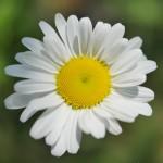 この花はマーガレット?