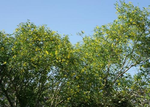 キソケイの木