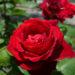 バラが咲いた 真っ赤なバラが 5月17日 今日この頃