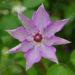 今年はクレマチスがたくさん咲いた  5月10日今日この頃